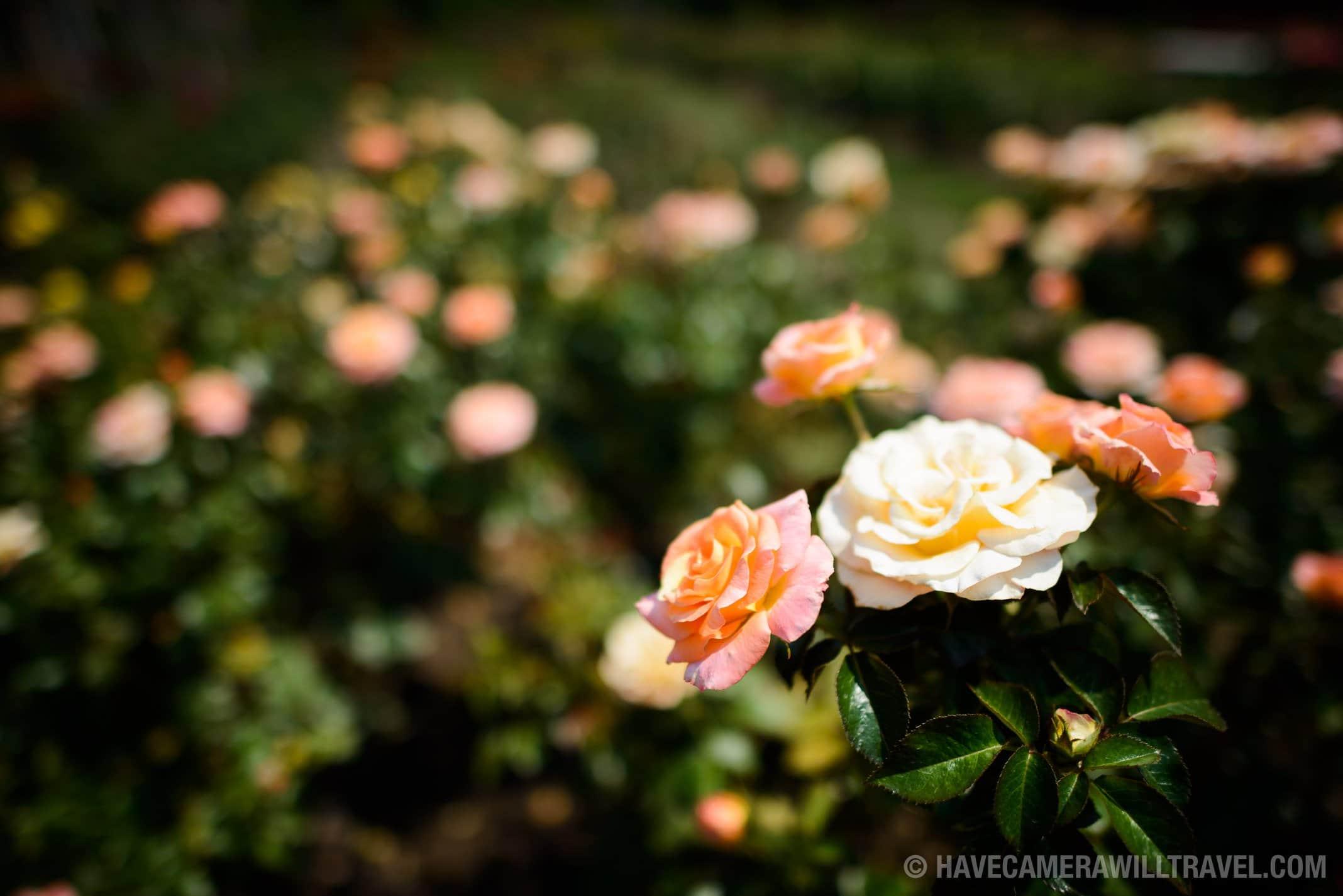 Rose Garden in Arlington Virginia Peach and White