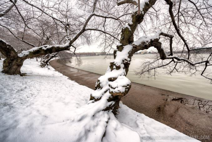 Snow on the Cherry Trees in Washington DC