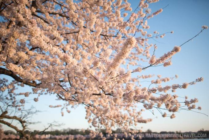 Washington DC Cherry Blossoms - March 26, 2016