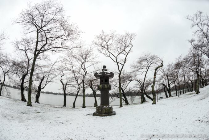 Washington DC's Yoshino Cherry Trees in the Snow