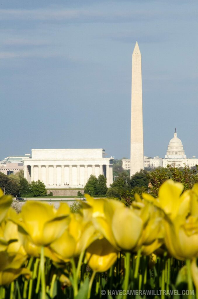 Yellow Tulips with Lincoln Memorial, Washington Monument, and Capitol Dome in the Spring