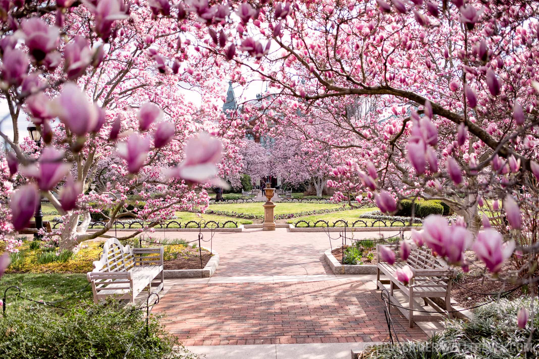 Saucer Magnolias in bloom at the Enid A. Haupt Garden